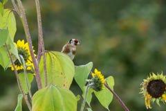 在成熟向日葵的五颜六色的金翅雀 库存图片