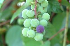 在成熟的藤的一个被损坏的葡萄 免版税库存图片