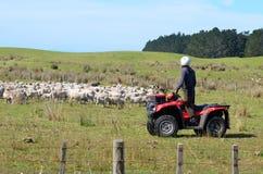在成群在新西兰的绵羊期间的牧羊人 库存照片