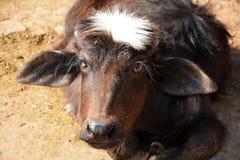 在我家养的亚洲水牛眼里 免版税库存照片
