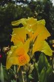 在我的庭院下午的黄色花 免版税库存照片