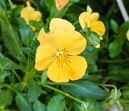 在我的庭院里种植的一朵完善的蝴蝶花 库存照片