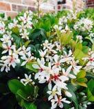 在我的房子附近的可爱的白花 免版税库存图片