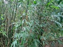 在我的房子附近的竹树 免版税库存照片