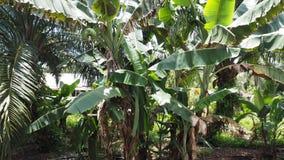 在我的villang的香蕉树 库存图片