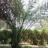 在我们的围场的棕榈树 免版税库存图片