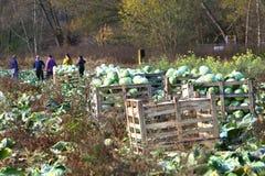 在我们附近的惊人的事本质上-圆白菜庄稼  免版税库存照片