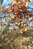 在我们附近的惊人的植物本质上-玫瑰果和橡木 免版税库存照片