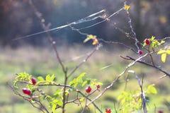 在我们附近的惊人的植物本质上-玫瑰果 免版税库存照片