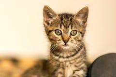 在戒备的小小猫 免版税图库摄影