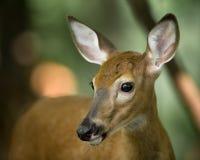 在戒备的幼小鹿在森林 库存照片