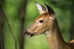 在戒备的幼小鹿在森林 免版税库存图片