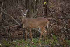 在戒备的母白尾鹿 免版税图库摄影