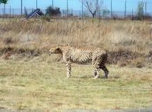 在戒备的猎豹在饲养时间的危险的 库存照片