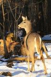 在戒备的白尾鹿母鹿 库存图片