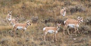 在戒备的羚羊 免版税库存照片