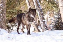 在戒备的黑北美灰狼在雪 免版税库存照片