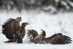 在战斗的两只老鹰 图库摄影