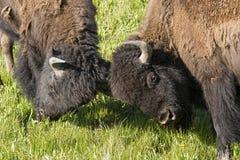 在战斗的两头北美野牛公牛戏剧 图库摄影