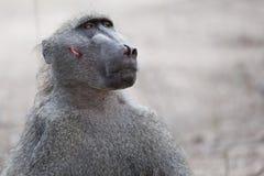 在战斗以后的狒狒 免版税库存图片