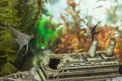 在户内个人水族馆的两个不同普通的Scalare个体 免版税库存图片