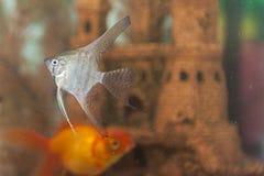 在户内个人水族馆的分开的普通的Scalare个体 库存照片