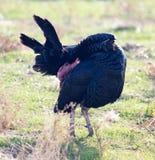 在户外农场的一只火鸡 免版税图库摄影