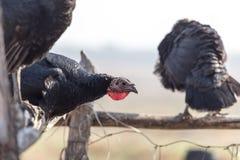 在户外农场的一只火鸡 免版税库存照片