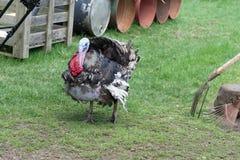 在户外农场的一只火鸡 库存照片