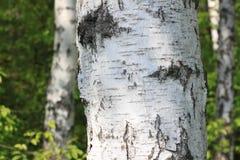 在户外太阳的桦树树干在夏天特写镜头 库存图片