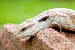 在户外岩石的蓝舌头蜥蜴 免版税库存图片