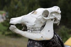 在户外杆的母牛头骨 库存照片