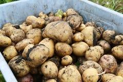 在户外独轮车的收获土豆 免版税库存图片