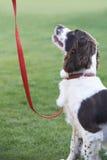 在户外皮带的服从的西班牙猎狗狗 库存照片