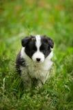 在户外草的美丽的矮小的黑白博德牧羊犬小狗 免版税库存图片
