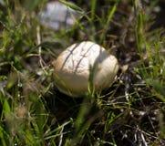 在户外草的蘑菇 免版税图库摄影