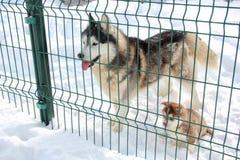 在雪的多壳的小狗 库存照片