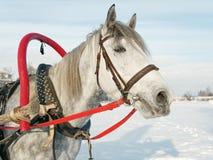 在户外鞔具关闭的灰色马在冬天 免版税库存照片