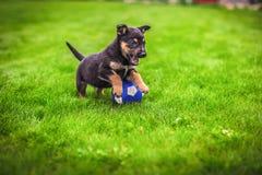 在户外绿草背景的小小狗杂种动物使用与球 免版税库存图片