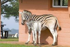 在房子前面的母亲和小斑马Umfolozi比赛储备的,南非,在1897年建立 库存图片