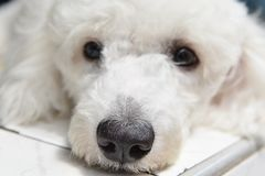 在房子前面的白色小狗睡眠 库存图片