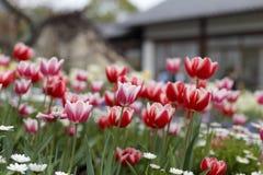在房子前面的红色郁金香 库存图片