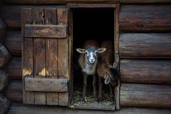 在房子外面的羊羔
