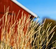 在房子客舱附近的水平的生动的挪威黑麦 库存图片