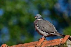在房子屋顶的斑尾林鸽 图库摄影