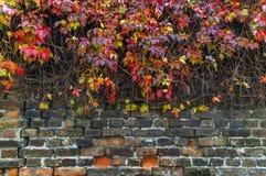在房子砖篱芭墙壁上的红色和黄色常春藤爬行物 免版税库存照片