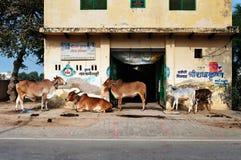 在房子附近的神圣的牛在街道上在沃林达文 免版税库存图片
