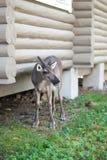 在房子附近的鹿 库存照片