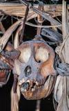在房子Mentawai部落的礼节动物头骨 库存图片