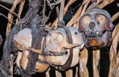 在房子Mentawai部落的礼节动物头骨 免版税库存图片